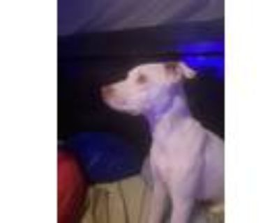 Adopt Angel a White Labrador Retriever / Rat Terrier / Mixed dog in Knoxville