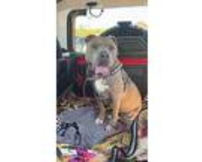 Octavia, Staffordshire Bull Terrier For Adoption In Chandler, Arizona