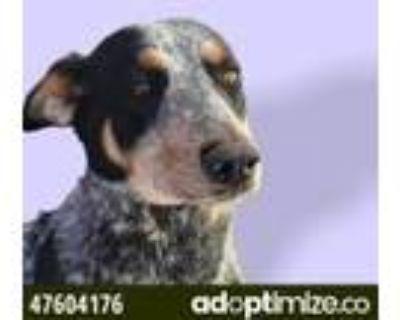 Adopt 47604176 a Black Blue Heeler / Mixed dog in El Paso, TX (31611198)