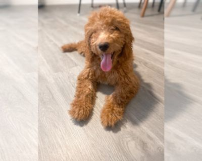 RED MINI GOLDENDOODLE FOR SALE