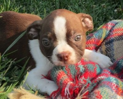 lovable Boston terrier Puppies For Adoption