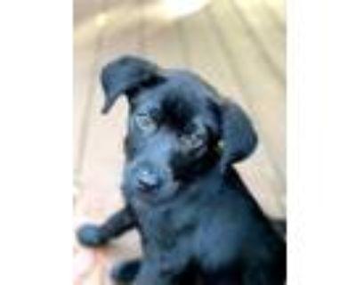 Adopt Fingerroot a Black Labrador Retriever dog in Merrifield, VA (31562490)