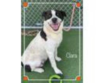 Adopt CLARA a White - with Black Pointer / Mixed dog in Marietta, GA (31452932)