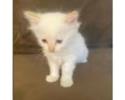Adopt Olive a White Siamese / Mixed cat in Westminster, CA (31966092)