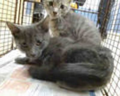 Adopt MADDOX a Gray or Blue Russian Blue / Mixed (short coat) cat in Doral