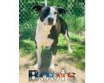 Adopt Boots a Border Collie, American Staffordshire Terrier