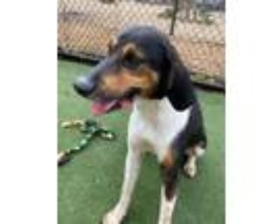 Adopt Andy Griffith II a Coonhound, Mixed Breed