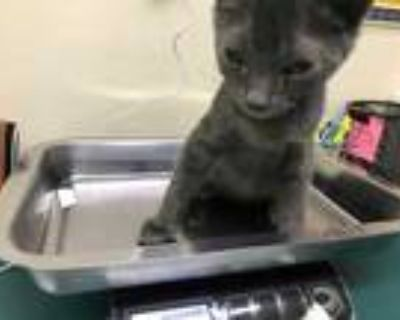Adopt SLINKY a Gray or Blue Domestic Shorthair / Mixed (short coat) cat in