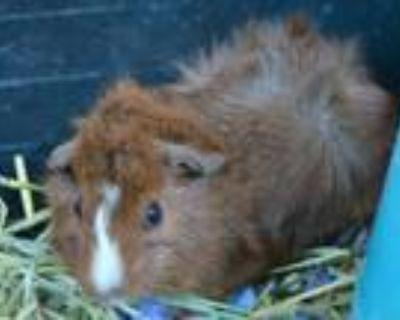 Adopt BROWNIE a Guinea Pig