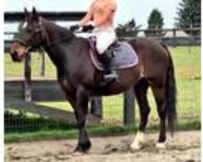 Experienced Eventing Mare