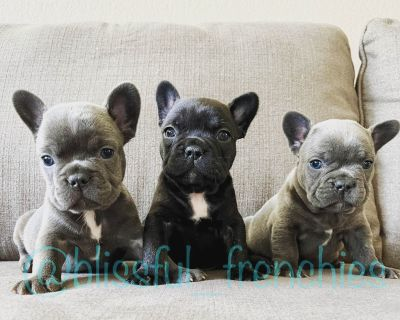 French Bulldog Puppies (Fluffy Carriers)