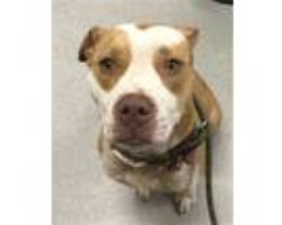 Adopt NINA a Brown/Chocolate - with White American Pit Bull Terrier / Mixed dog