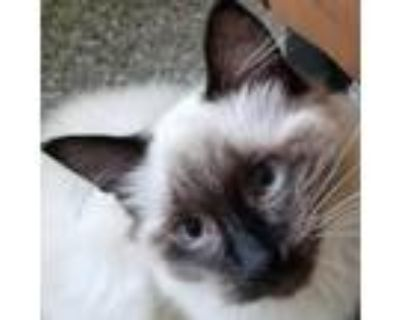Adopt Tia a White (Mostly) Himalayan / Mixed cat in Folsom, LA (31948316)