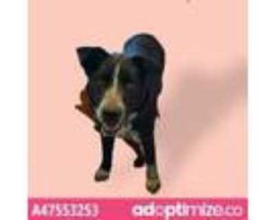 Adopt 47553253 a Black Blue Heeler / Mixed dog in El Paso, TX (31176414)