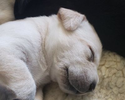 AKC Yellow and Black Labrador Puppies