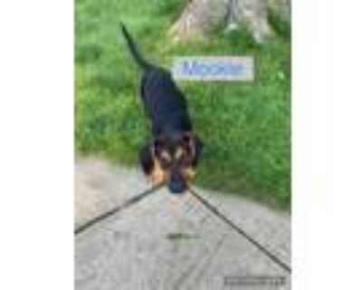 Adopt Mookie a Coonhound, Rottweiler