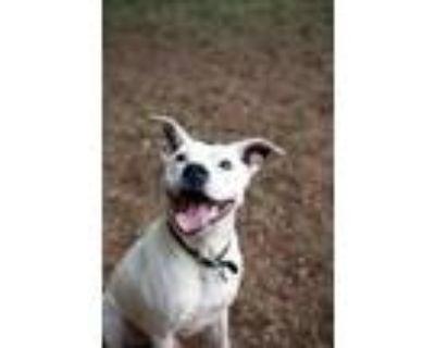 Adopt Rocky a Boxer, Labrador Retriever