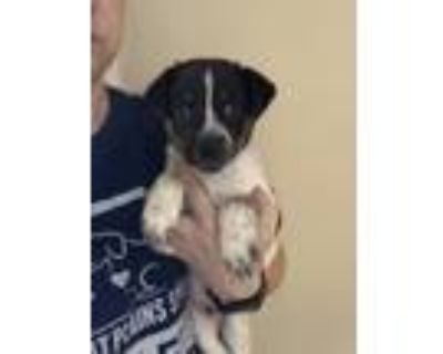 Adopt Rossi a Border Collie, Terrier