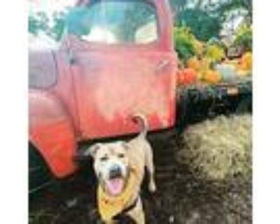 Miller Kyle, Pit Bull Terrier For Adoption In Alpharetta, Georgia