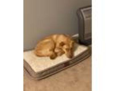 Adopt Ari a Tan/Yellow/Fawn Labrador Retriever / Mixed dog in Raeford
