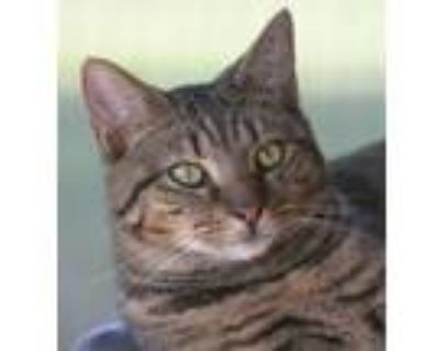 Adopt Diana a Domestic Shorthair / Mixed (short coat) cat in North Fort Myers