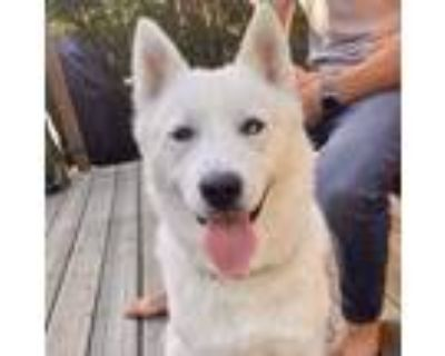 Adopt Coco a White Husky / Mixed dog in Oakland, CA (32098802)
