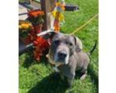 Adopt Buddy a Gray/Blue/Silver/Salt & Pepper American Pit Bull Terrier / Mixed