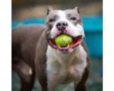 Adopt Allister a Gray/Blue/Silver/Salt & Pepper American Pit Bull Terrier /
