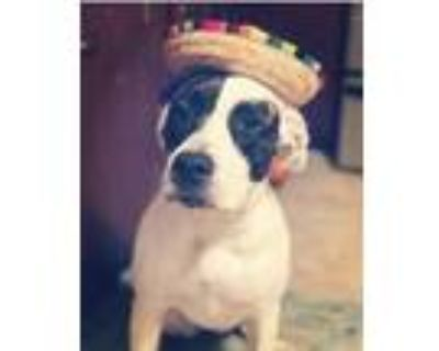 Adopt Cleo a Tricolor (Tan/Brown & Black & White) American Pit Bull Terrier /