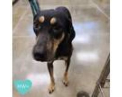 Adopt Shadow a Tan/Yellow/Fawn Hound (Unknown Type) / Mixed dog in Sarasota