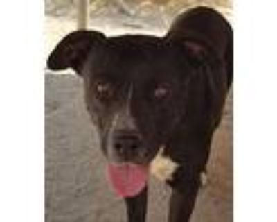 Gina, Pit Bull Terrier For Adoption In Palmdale, California