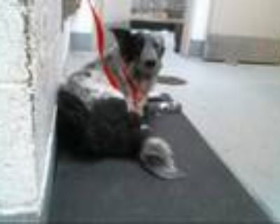 Adopt TOOTIE a Black - with White Border Collie / Mixed dog in Albuquerque