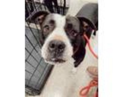Adopt Nala a Boxer, Pit Bull Terrier