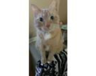 Adopt Griffin a Orange or Red Tabby American Shorthair / Mixed (short coat) cat