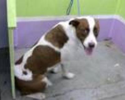 Adopt A1773522 a Australian Cattle Dog / Blue Heeler, Mixed Breed