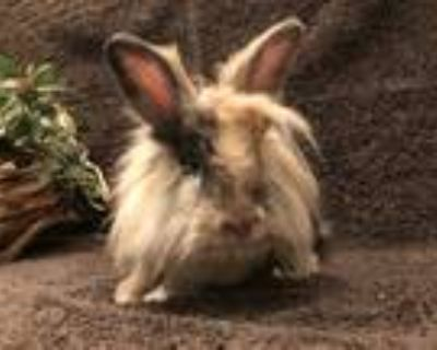 Adopt Bumbum a Harlequin Lionhead / Mixed (medium coat) rabbit in West Palm