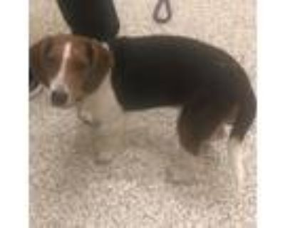 Adopt Annabell a Brown/Chocolate Beagle / Mixed dog in West Chester