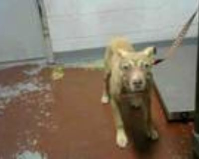 Adopt ELENA a Labrador Retriever