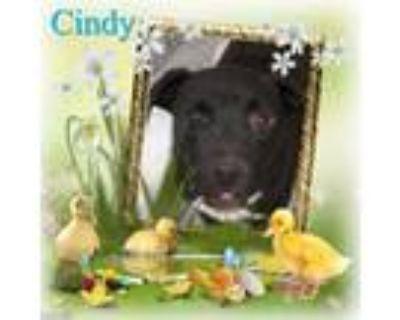 Adopt Cindy a Labrador Retriever