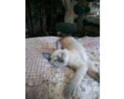 Adopt Simon a Cream or Ivory Siamese (short coat) cat in Palm Springs