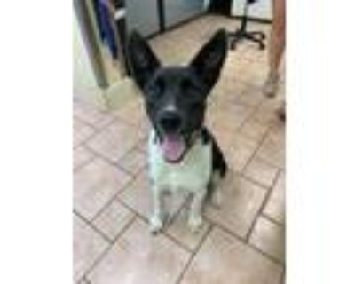 Adopt Hank a Black - with White Border Collie / Mixed Breed (Large) / Mixed dog