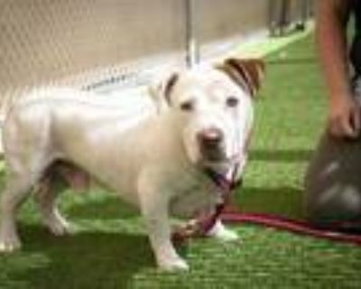 Adopt BOBO a White - with Brown or Chocolate American Pit Bull Terrier / English