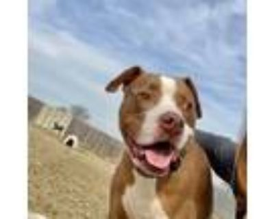 Adopt *Chisel a Staffordshire Bull Terrier