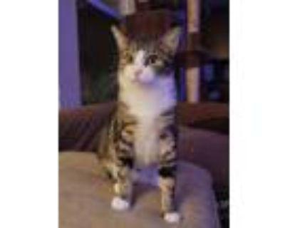 Adopt Sadie a Domestic Shorthair cat in Little Rock, AR (31848820)