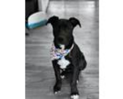 Adopt Luna a Black American Pit Bull Terrier / Chow Chow / Mixed dog in North
