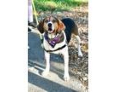 Adopt Rocky a Tricolor (Tan/Brown & Black & White) Treeing Walker Coonhound /