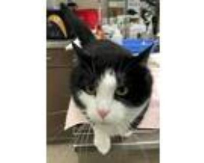 Adopt Octavia a All Black Domestic Shorthair / Domestic Shorthair / Mixed cat in