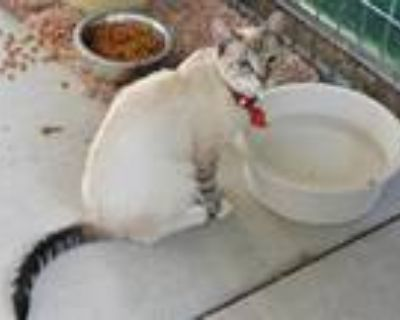 Adopt LING LING a Siamese / Mixed (short coat) cat in Oroville, CA (32112695)