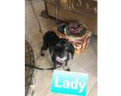 Adopt Lady a Black - with White Cocker Spaniel / Poodle (Miniature) / Mixed dog