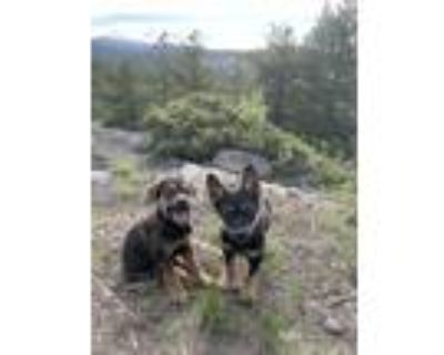 Adopt Hal a Black - with Tan, Yellow or Fawn German Shepherd Dog dog in Denver
